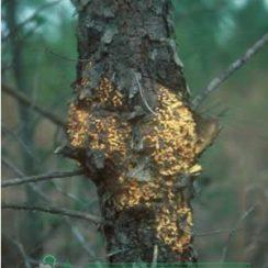 Повреждения вызваннаые Пузырчатой ржавчиной Cronartium ribicola. (С) www.rosselhozpitomnik.ru